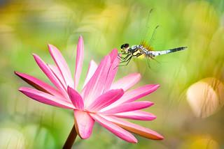 ~ Dragonfly | 空中飛龍 ~