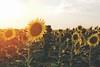 Sunflower (Sareni) Tags: sareni serbia srbija vojvodina banat juznibanat alibunar utrina njiva oranica suncokret suncokreti sunflower sunflowers sky clouds nebo oblaci evening vece light svetlost colors boje vintage summer leto july 2017 twop