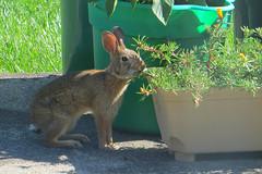 Rabbit on the patio 9 July 2017 5641ri 4x6 (edgarandron - Busy!) Tags: animal rabbit rabbits bunny bunnies