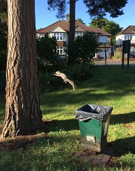 leap (looper23) Tags: squirrel knoll hayes bromley jumping london july 2017