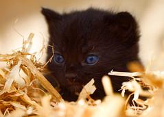 'Stella' (Jonathan Casey) Tags: black kitten rescue cat catchums chums norfolk nikon d810 105mm f28 vr