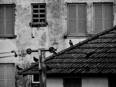 Pigeons (themathpires) Tags: pigeons birds windows urban conceptual houses old roof casas telha pombos arquitetura parede wall monocromático