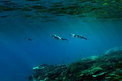 Juvenile squid || Lady Elliot Island (David Marriott - Sydney) Tags: queensland australia au qld lady elliot island great barrier reef snorkeling underwater ikelite fotofrenzy collective canon