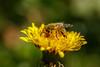 @ work (Johanna & Alexander Fellinger) Tags: insekten österreich nahlinse natur biene oberösterreich johannafellinger tiere dimbach blumen
