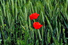 duo de coquelicots parmi les épis de blés France _4460 (ichauvel) Tags: coquelicots poppies blé wheat céréales champs field champscultivé nature vert green rouge red exterieur printemps spring france europe westerneurope beautédelanature beautyofnature