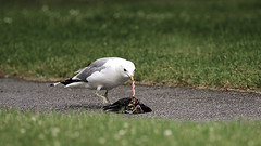 OPPORTUNISM (PENGSPECTIVE) Tags: omnivore seagull fieldfare birds cannibalism eating fågel allätare