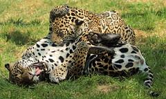 jaguar Miranda and Bess Krefeld BB2A1646 (j.a.kok) Tags: jaguar pantheraonca krefeld zoogdier zuidamerika southamerica kat cat mammal dier animal bess miranda moederenkind motherandchild