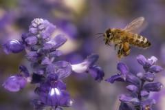 In a bee's world (FocusPocus Photography) Tags: biene bee honigbiene honeybee insekt insect tier animal ziersalbei ornamentalsage