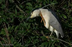 When it itches.... (Jambo53 (catching up)) Tags: ardeidaereigers trekvogel watervogel aves kwak reiger heron robertkok nycticoraxnycticorax nikond800 nikon500mmf4 netherlands nederland holland schaarsebroedvogel