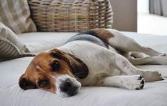 Lucky (LuckyMeyer) Tags: hund haustier beagle jagdhund dog tier