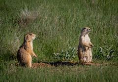 Prairie Dogs, Devils Tower (andertho) Tags: nps devils tower national monument prairie dogs olympus omd em5ii m43 microfourthirds