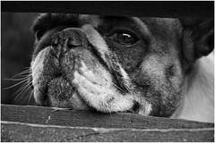At the garden fence... (***étoile filante***) Tags: dog hund animal tier fence zaun macro details bw sw blackandwhite schwarzweiss monochrome soul soulful eyes augen moment augenblick emotional emotions