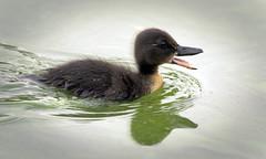 Mommy, wait for me! (hedera.baltica) Tags: duck mallard hybrid kaczka krzyżówka kaczkakrzyżówka sołtys anasplatyrhynchos duckling kaczątko