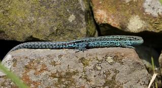 Blue Viviparous Lizard.