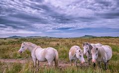 StDavidsHorses1-1 (sionesmond) Tags: horses field prairie stdavids pembrokeshire wales landscape