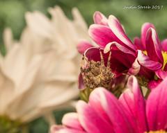 Orb Weaver (strjustin) Tags: orbweaver spider arachnid insect bug flowers beautiful macro