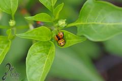 Macro-LadyBugs_238 (ZieBee Media) Tags: ladybug garden