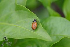 Macro-LadyBugs_111 (ZieBee Media) Tags: ladybug garden