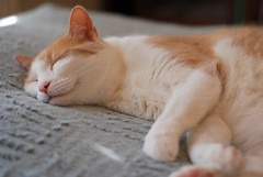 Here's another shot of Otis on the chenille island (rootcrop54) Tags: otis dilute orange ginger tabby male sweet smile chenille pillow neko macska kedi 猫 kočka kissa γάτα köttur kucing gatto 고양이 kaķis katė katt katze katzen kot кошка mačka maček kitteh chat ネコ cc100 cc200