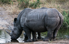 A Female Rhino and her Young Offspring Take a Drink (hpfkPhoto) Tags: rhino rhinos water drinking kruger national park africa african safari child children baby offspring mother daughter son family protect protection horn hunt hunting thirsty thirst savanna savannah