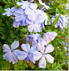 Blue spanish flowers (HJsfoto) Tags: torrevieja flowers spain