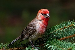 House Finch, Male (Anne Ahearne) Tags: spruce tree red bird birds house finch finches animal animals nature wildlife