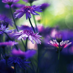 Passing By (João Pedro de Almeida) Tags: daisy purple blue pink green flower floral sun spring garden summer forest light backlight sunny day dream beauty world micro macro dof focus blur bokeh outdoor nature colors magic soft fantasy fairy abstract seasons plant details canon600d 50mm
