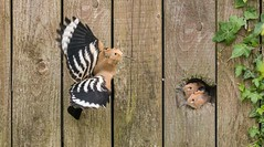 two hoopoe kids looking to get something to eat (hardy-gjK) Tags: bird vögel animals natur nature motion fly im flug wiedehopf kinder jung vater father mother mutter essen nikon hardy hoopoe huppe oiseaux