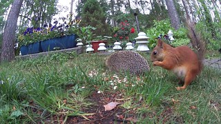 Hedgehog, magpies and squirrel: Animal interaction in slow motion (part I)