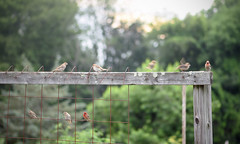 Birds of a Feather (Lala Lands) Tags: gardenfence happyfencefriday hff gardenbirds communitygardens summergardens summereveninglight birdsofafeather bokeh shallowdof nikkor105mmf28 nikond7200