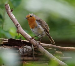 robin 23 jul (3) (Simon Dell Photography) Tags: robin simon dell photography garden bird close up pose detail red breast tree