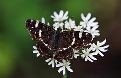 Arachnia prorsa (Hugo von Schreck) Tags: hugovonschreck arachniaprorsa landkärtchen butterfly schmetterling macro makro insect insekt canoneos5dsr tamron28300mmf3563divcpzda010