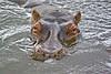 IMGP2506 (petercan2008) Tags: hipopotamo mamífero salvaje animal agua reserva serengeti tanzania africa