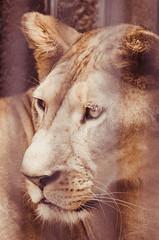 _DSC3430 (SWIFTKRITSAMAS) Tags: kritsamas kritsamasualapun swiftkritsamas qrswiftuv zoo thailand thailandzoo animal wildlife tiger lion outdoor nikon nikond7000 d7000 sigma tamron bangkokphotographer bangkok 2017