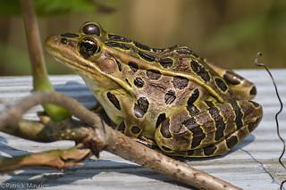 Northern Leopard Frog [Explored]