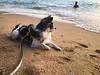 Mamo (PoissonBeat) Tags: dog sea beach mamoru thailand animal chihuahua dogsandpuppies pet