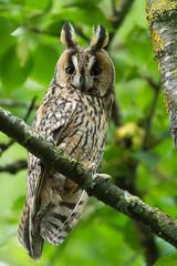 Hibou moyen duc - Long-eared Owl (@Isa B) Tags: rapaces wildlife switzerland hiboumoyenduc longearedowl hiboux owl