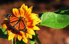 Morning visitor                 DSC_0152-001 (LarryJ47) Tags: butterfly nikond40 d40 nikon 70300mm sunflower green
