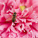 A Pollinator in Pink........HFDF!