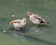 Egyptian Geese (Smiffy'37) Tags: egyptiongeese birds waterfowl waterbirds wildlife nature reflections