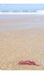 Solo Pink (red stilletto) Tags: oceangrove oceangrovebeach bellarinepeninsula sea beach ocean sand surf summer seaweed