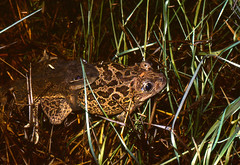 Western Spadefoot Toads (Pelobates cultripes) pair in amplexus in the pond ...