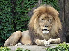 Chicago, Lincoln Park Zoo, Male Lion (Mary Warren (8.8+ million views)) Tags: chicago lincolnparkzoo nature fauna animal mammal feline cat lion coth5
