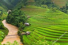 Tranh phong cảnh ruộng bậc thang ở Việt Nam đẹp nhất (AmiA.com.vn-Sieuthitranhamia.com) Tags: tranhphongcảnh phongcảnhđẹpquêhươngviệtnam ruộngbậcthangmùcangchải tranhphongcảnhviệtnamđẹpnhất ruộngbậcthang đồnglúachín