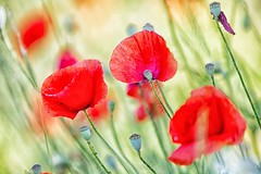 moving poppies (mat56.) Tags: papaveri poppies rosso red prato movomento moving natura nature fiori flowers lawn sancolombanoallambro milano lombardia pianura padana antonio romei mat56 campagna