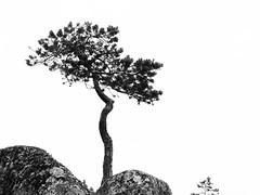 Pin sylvestre ... (sosivov) Tags: sweden skuleskogen trees blackandwhite pine mountain forest