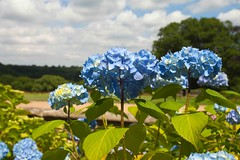 Long-Blooming Hydrangea (Adam Swaine) Tags: nymans nymanssussex flora flowers hydranga summer naturelovers nature england english gardens beautiful canon countryside ukcounties sussex rural britain british petals