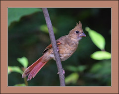 What's up? (tvj21) Tags: cardinal bird
