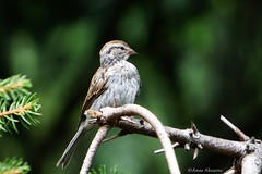 Juvenile Chipping Sparrow (Anne Ahearne) Tags: chipping sparrow sparrows bird birds wildlife animal animals nature spruce tree