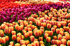 STUNNING TULIPS (GA High Quality Photography) Tags: tulip tulips flower flowers nature amazing art attractive spring leaves awesome beautiful color colors colour colorful colourful clouds cloud cool creative cute dramatic love lovely exposure fabulous lovers fantastic field fine garden girls girl glamorous gorgeous happy lady ladies light lighting new nice serene park peace peaceful pink blue purple stunning wonderful woman women yellow